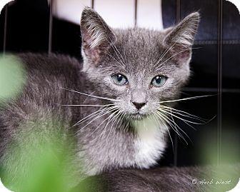 Domestic Shorthair Kitten for adoption in Los Angeles, California - Banjo