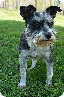 Schnauzer (Miniature) Dog for adoption in Washington, D.C. - Emma