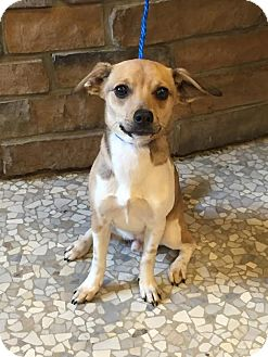 Chihuahua/Pug Mix Puppy for adoption in River Falls, Wisconsin - Charlie