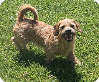 Dachshund/Shih Tzu Mix Dog for adoption in Henderson, Nevada - Flash