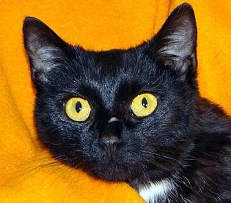 Domestic Shorthair Cat for adoption in Renfrew, Pennsylvania - Betsy