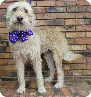 Labradoodle Mix Dog for adoption in Benbrook, Texas - Izzy