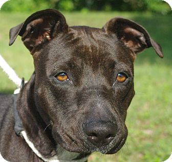 Labrador Retriever/American Staffordshire Terrier Mix Dog for adoption in Daytona Beach, Florida - Lady Gaga