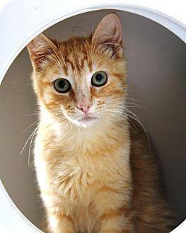 Domestic Shorthair Cat for adoption in Hamilton, Ontario - Flynn
