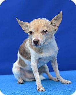 Chihuahua Dog for adoption in LAFAYETTE, Louisiana - HONEY