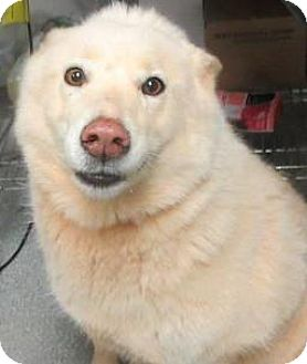 Alaskan Malamute/American Eskimo Dog Mix Dog for adoption in Lincolnton, North Carolina - Jasmine