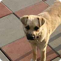 Black Mouth Cur/Shar Pei Mix Dog for adoption in Salamanca, New York - Buster