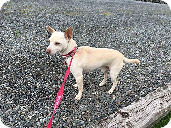 Chihuahua Mix Dog for adoption in Bonney Lake, Washington - Shadow