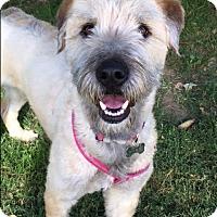 Adopt A Pet :: Sophie - La Mirada, CA