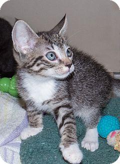Domestic Shorthair Kitten for adoption in Elmwood Park, New Jersey - Chance