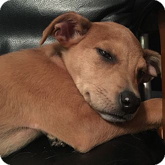 Terrier (Unknown Type, Small) Mix Puppy for adoption in Fredericksburg, Virginia - Stella Adoption Pending