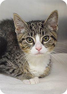 Domestic Shorthair Kitten for adoption in Dublin, California - Eric