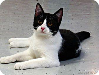 Domestic Shorthair Cat for adoption in tama, Iowa - Dhani