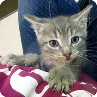 Domestic Shorthair Kitten for adoption in Janesville, Wisconsin - Cinnamon