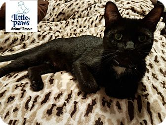 Domestic Mediumhair Cat for adoption in Hamilton, Ontario - Marbell