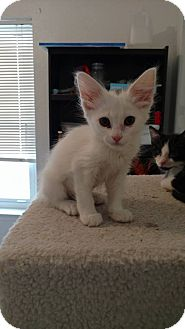 Domestic Shorthair Kitten for adoption in El Paso, Texas - Casper