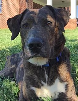 Labrador Retriever/Pit Bull Terrier Mix Dog for adoption in Okatie, South Carolina - BERGIE