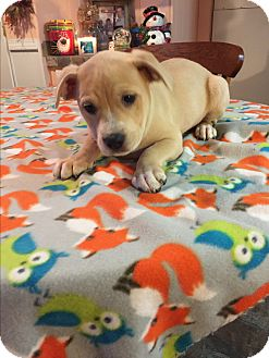 Labrador Retriever/Labrador Retriever Mix Puppy for adoption in Kittery, Maine - Piper