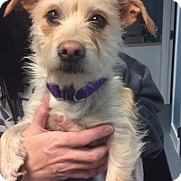 Adopt A Pet :: Harriet - Wethersfield, CT