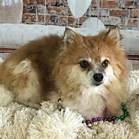 Pomeranian Dog for adoption in Dallas, Texas - Love Bug