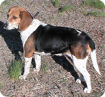 Beagle Dog for adoption in Maynardville, Tennessee - Tess