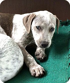 Labrador Retriever/Australian Cattle Dog Mix Puppy for adoption in Boulder, Colorado - Armando