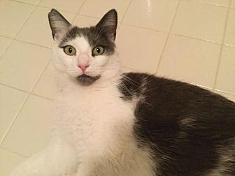 Domestic Shorthair Cat for adoption in Trenton, New Jersey - Edna Babish