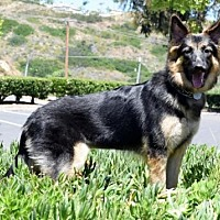 German Shepherd Dog Dog for adoption in San Diego, California - Harmony's Hope