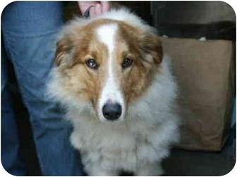 Collie Dog for adoption in Mason City, Iowa - Muffin