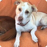 Adopt A Pet :: Gracie - Vancouver, BC