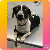 Adopt A Pet :: Melody - Greenville, NC