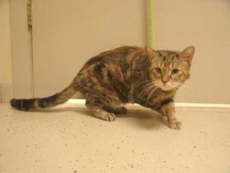 Domestic Mediumhair/Domestic Shorthair Mix Cat for adoption in Waupun, Wisconsin - Glory