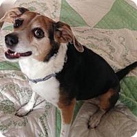Adopt A Pet :: Lady - Tucson, AZ