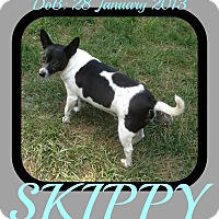 Adopt A Pet :: SKIPPY - White River Junction, VT