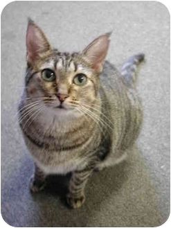 Domestic Shorthair Cat for adoption in Fort Lauderdale, Florida - Victoria