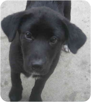 Beagle/Labrador Retriever Mix Puppy for adoption in Chicago, Illinois - Jessie(ADOPTED!)