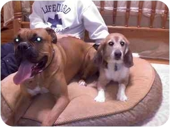 Beagle Dog for adoption in Portland, Ontario - Einstein