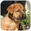Photo 2 - Shepherd (Unknown Type) Mix Puppy for adoption in Berkeley, California - Red