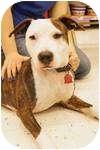 American Pit Bull Terrier/American Bulldog Mix Dog for adoption in Warren, Michigan - Julia