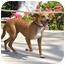 Photo 3 - Pharaoh Hound Mix Dog for adoption in Irvine, California - CHILI