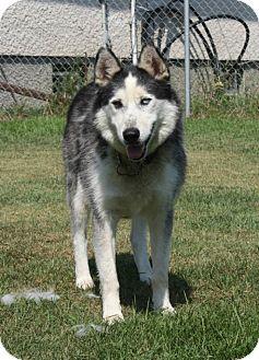 Husky Mix Dog for adoption in Winnipeg, Manitoba - Dabu