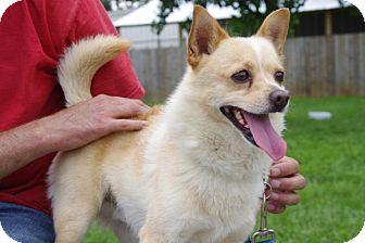 Chihuahua Mix Dog for adoption in Elyria, Ohio - Simba-Prison Graduate