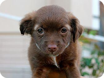 Poodle (Miniature)/Spaniel (Unknown Type) Mix Puppy for adoption in Los Angeles, California - Cornelia