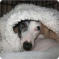Adopt A Pet :: Phantom - OC - Costa Mesa, CA
