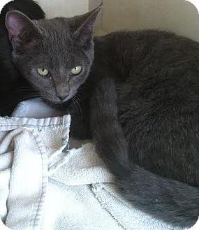 Domestic Shorthair Kitten for adoption in Westminster, California - Sven