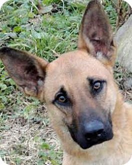 Belgian Malinois Dog for adoption in Wakefield, Rhode Island - TRIG(TRAINED-BEYOND SMART!!)