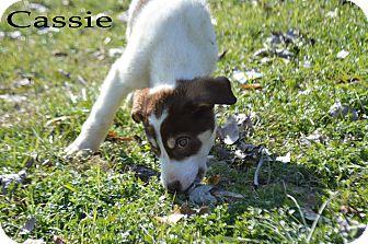 Shepherd (Unknown Type) Mix Dog for adoption in Texarkana, Arkansas - Cassie