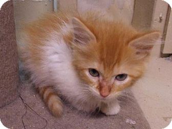 Domestic Longhair Kitten for adoption in Lenexa, Kansas - Nigel