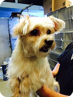 Yorkie, Yorkshire Terrier Mix Dog for adoption in La Canada, California - Bliss
