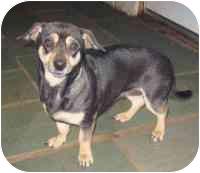 Dachshund/Chihuahua Mix Dog for adoption in Cairo, New York - Anita